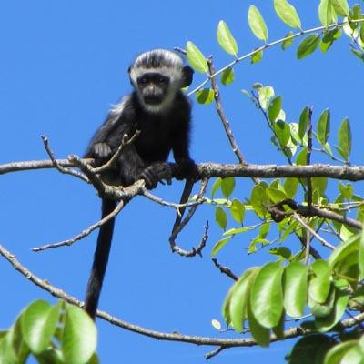 Baby Colobus Bwindi Impenetrable Forest Experience Uganda