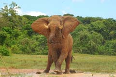 Charging Elephant Murchison Falls Experience Uganda
