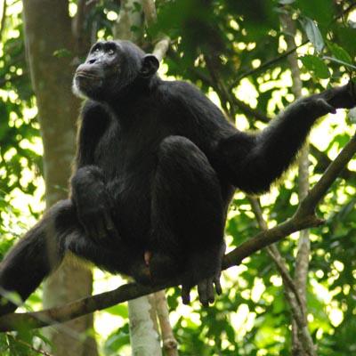 Chimpanzee Budongo Experience Uganda