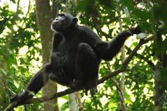 Chimpanzee Budongog Experience Uganda