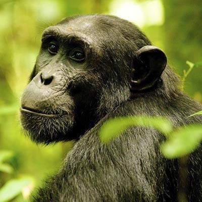 Chimpanzee Kyambura Gorge Experience Uganda