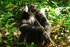 Chimpanzee Kibale 5 Experience Uganda