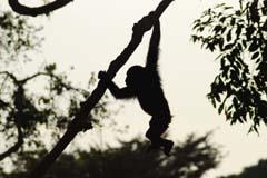 Chimpanzee Ngamba Experience Uganda