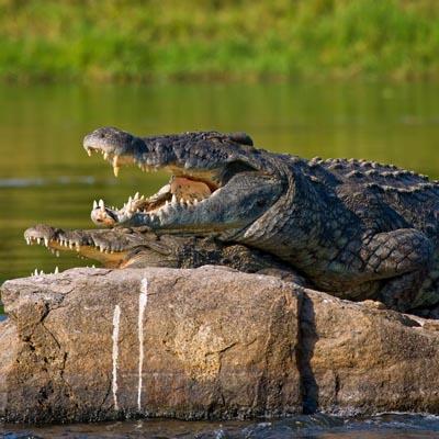 Crocodile Experience Uganda