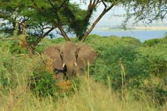 Elephant Looking Experience Uganda