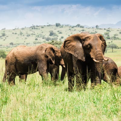 Herd of elephants, Kidepo Valley National Park Experience Uganda)
