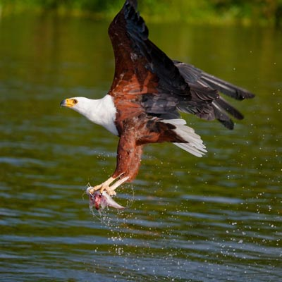 Fish Eagle in flight Experience Uganda