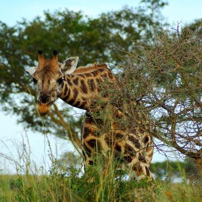 Giraffe Murchison Falls Experience Uganda