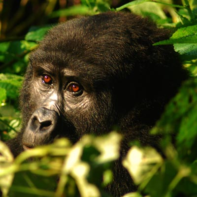 Gorilla Tracking Experience Uganda