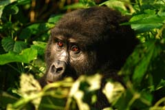 Gorilla Bwindi Impenetrable Forest Experience Uganda