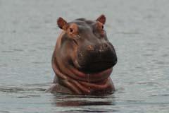 Hippo Murchison Falls Experience Uganda