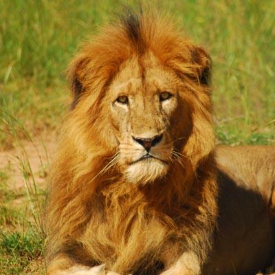 Kidepo Lion Experience Uganda