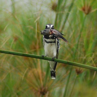 Pied Kingfisher Experience Uganda