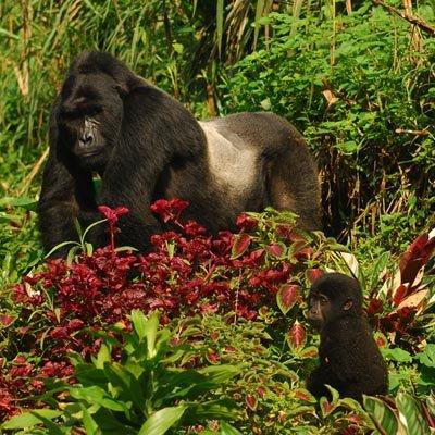 Mountain Gorilla Experience Uganda