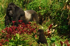 Silverback and Baby Gorilla Bwindi Impenetrable Forest Experience Uganda