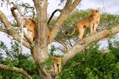Tree Climbing Lion 5 Ishasha Experience Uganda