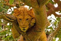 Young Male Lion resting in a tree in the Ishasha Region of Queen Elizabeth National park