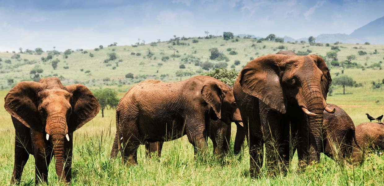Kidepo Valley Elephants Experience Uganda