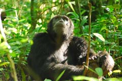 Chimpanzee Kibale 4 Experience Uganda