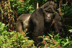 Silverback Gorilla Bwindi Impenetrable Forest Experience Uganda