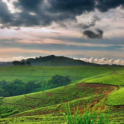 Tea plantation in Uganda